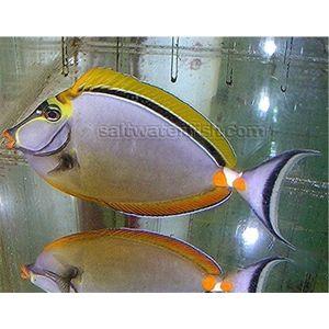 Blonde Naso - Red Sea - Male
