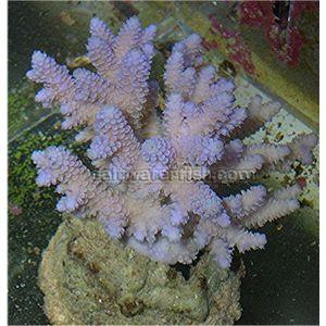Aquacultured Millepora - Turquoise