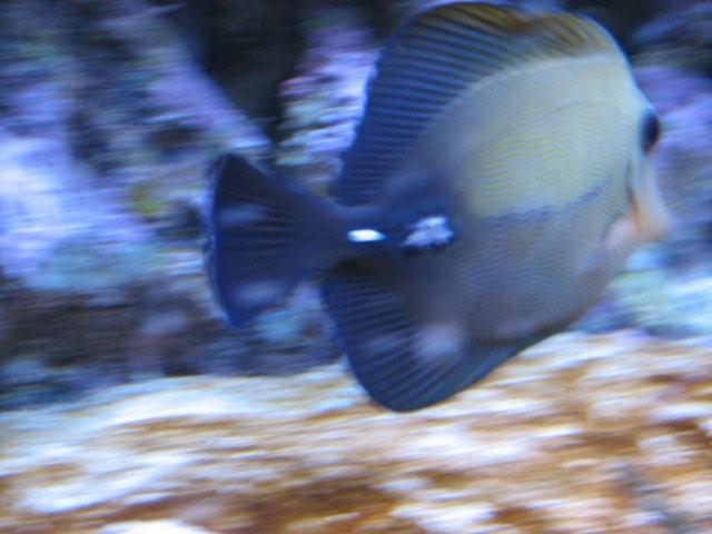 Cauliflower Disease Or Lymphocystis Saltwaterfish Forum
