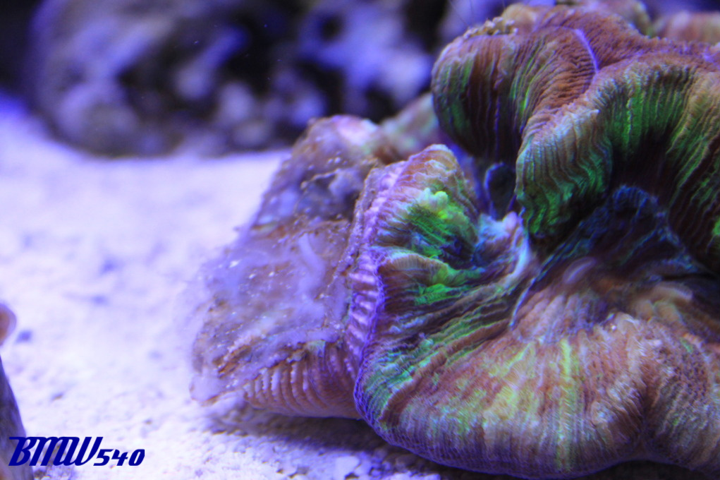 Acan Echinata Vs Wellso Coral At War Saltwaterfish Com Forums For Fish Lovers