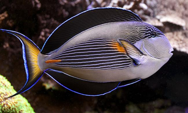 Sohal or clown tang for aggressive reef saltwaterfish forum for Red saltwater fish