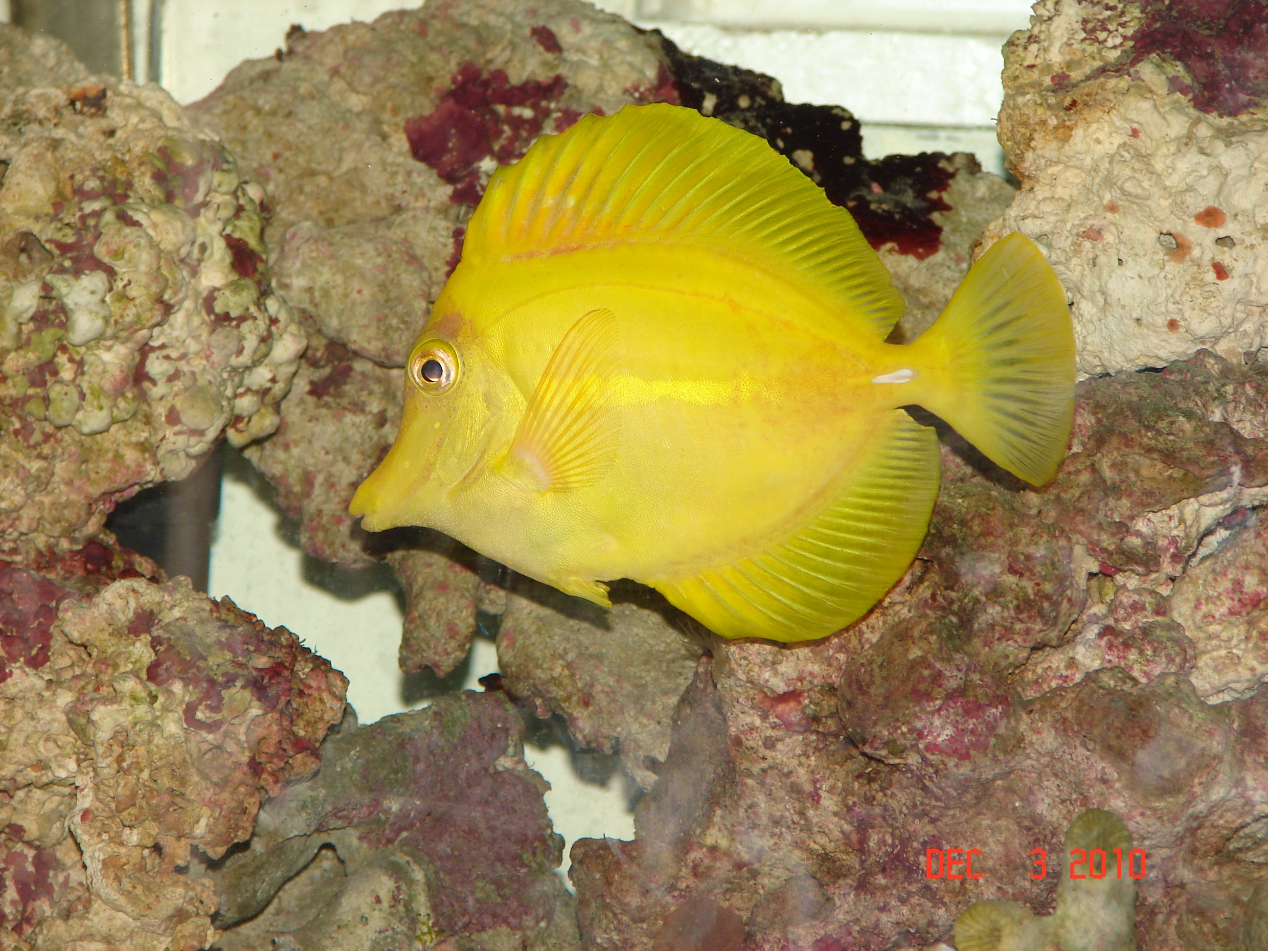 Bacterial infection yellow tang saltwaterfish forum for Fish bacterial infection
