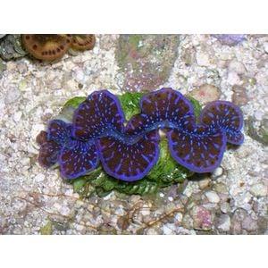 Maxima Clam - 1st Grade Blue/Purple