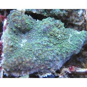 Chalice Green Frags