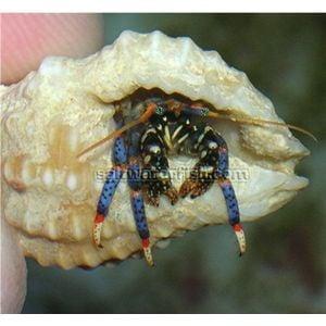 Blueleg Hermit Crab