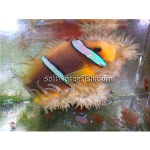 Blue Stripe Clownfish - Hawaii