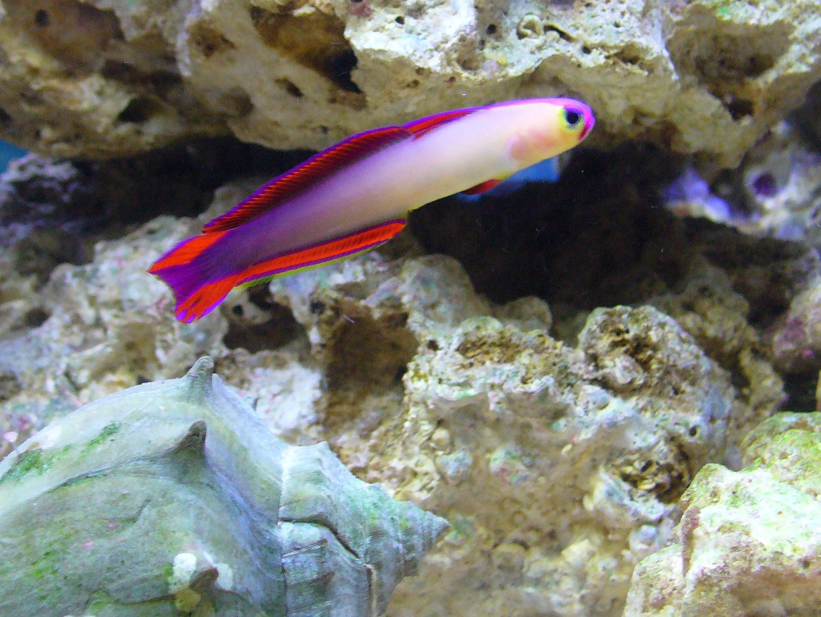 How many fire fish gobies could i put in my 25g tank for How to saltwater fish