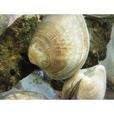 Cleaner Clam<br />(Free w/Any Marine Life Purchase!)