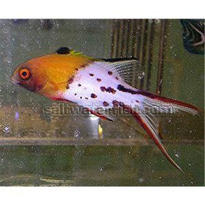 Lyretail Hogfish