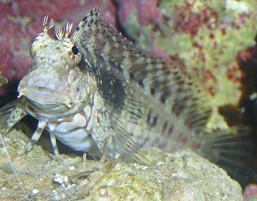 Ideas For A Algae Eating Fish For A 55g Saltwaterfish Forum