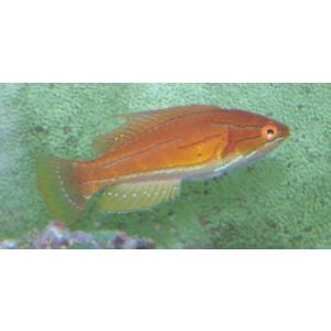 Carpenters Flasher Wrasse