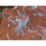 Brain Coral - Goblet