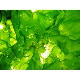 ORA Sea Lettuce