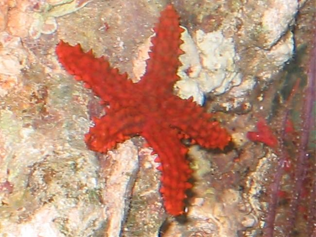 Reef Safe Starfish Saltwaterfish Forum