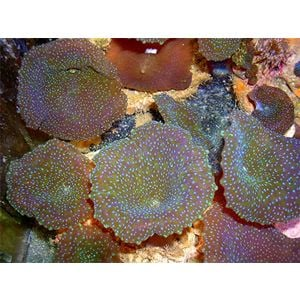 Mushroom Coral - Blue Spotted