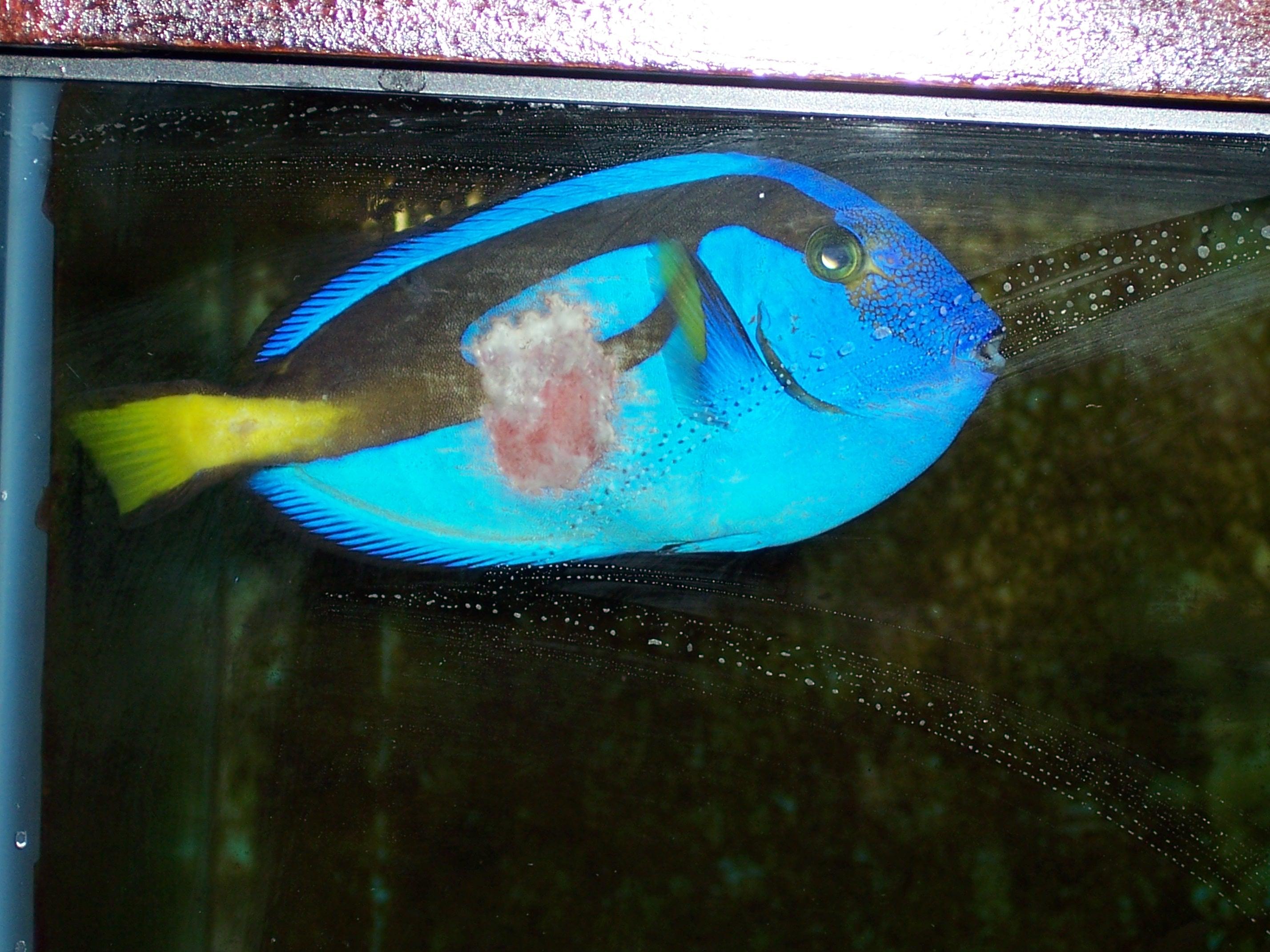 blue hippo tang flesh eating away saltwaterfish forum