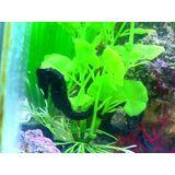 Seahorse - Black Reidi Captive Bred