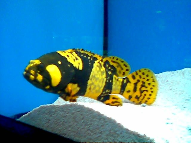 Interesting grouper at lfs saltwaterfish forum for Where to buy saltwater fish