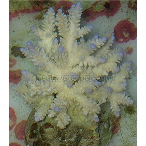 Aquacultured Blue Tipped Acropora