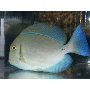 Blochii Surgeonfish