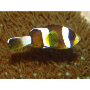 Clarkii Clownfish - Large - Wild