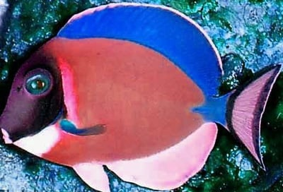 The rarest tang page 2 saltwaterfish forum for Blue tang fish price