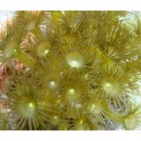 Yellow Polyps