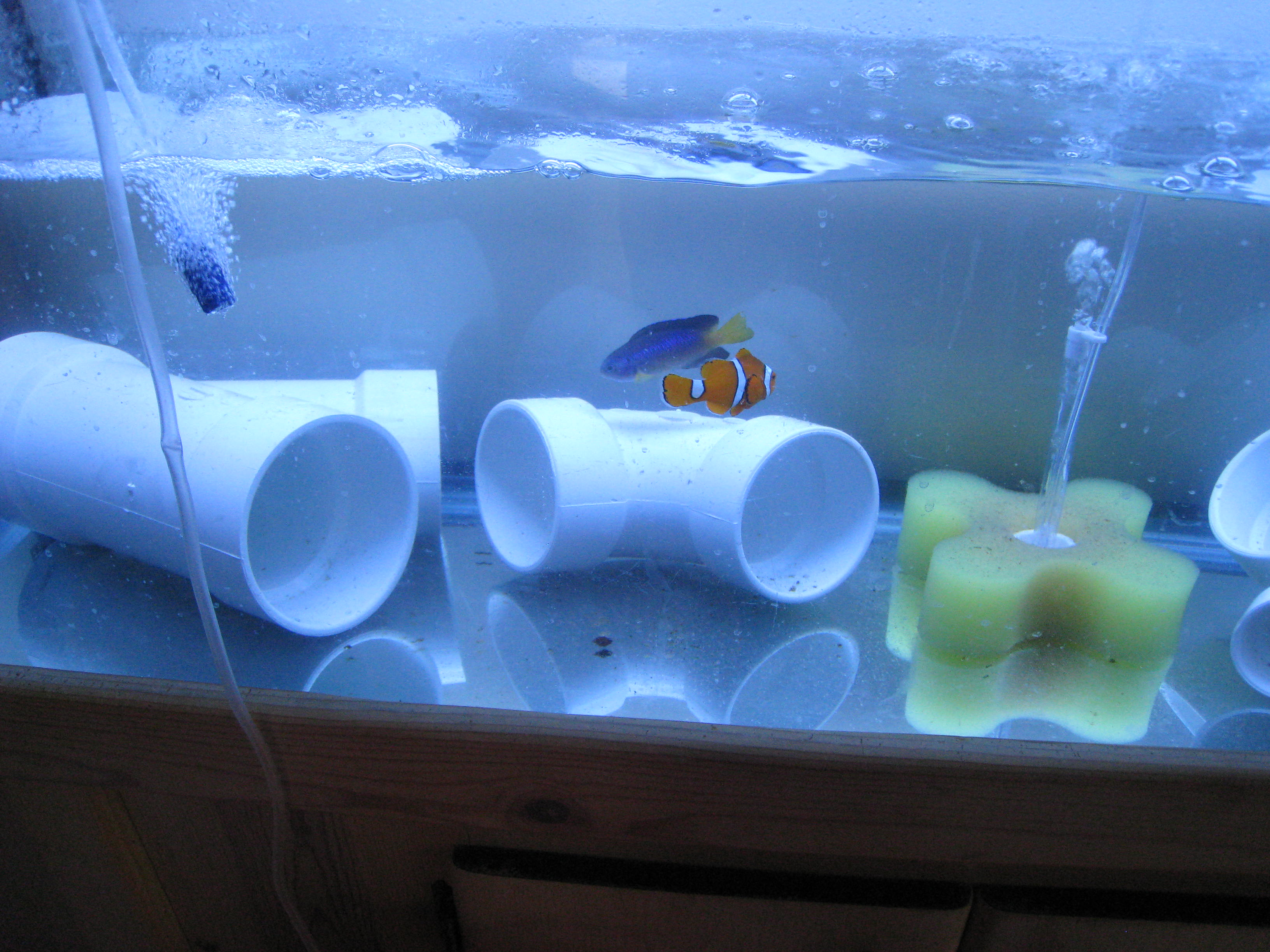 Fish tank quarantine -  The Sad Sad Fish Hospital Here Are Your Patients I Think They Hate Me Since I Ve Moved Them Here Everyone Has A Pvc Pipe And No One Goes Near Them