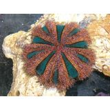 Black and Red Sea Urchin