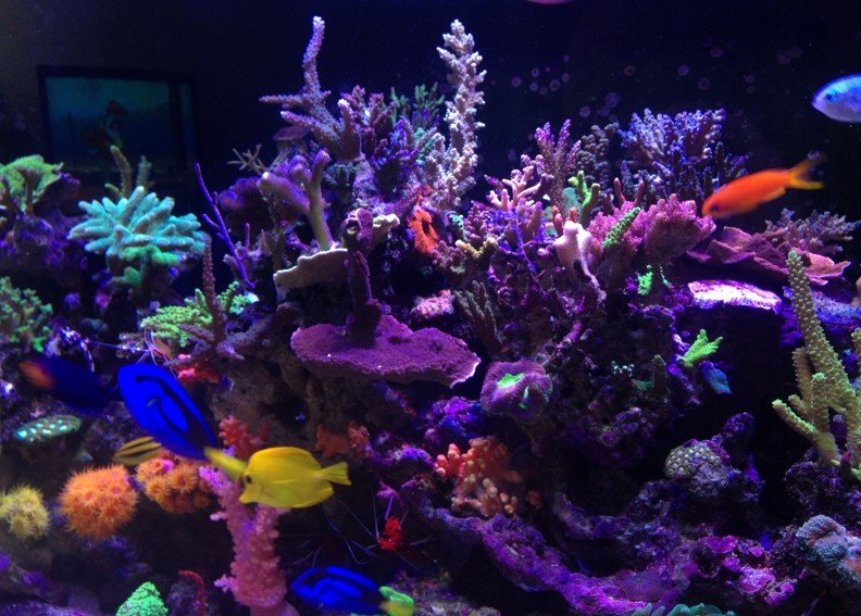 My tank and clowns hippo tang exotic sps coral for Exotic saltwater fish