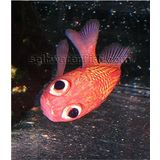 Cardinal Soldierfish - Venomous