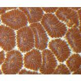 Brain Coral - Favites Maroon