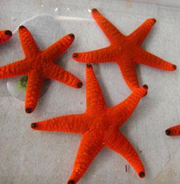 orange linkia starfish saltwaterfish forum
