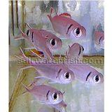 Big Eye Soldierfish - Venomous
