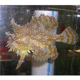 Frogfish - Sargassum
