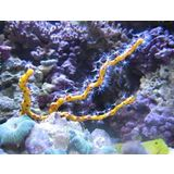 Deep Sea Yellow Gorgonian