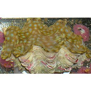 Squamosa Clam