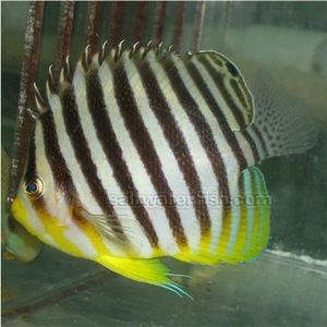 Banded Angelfish (A)