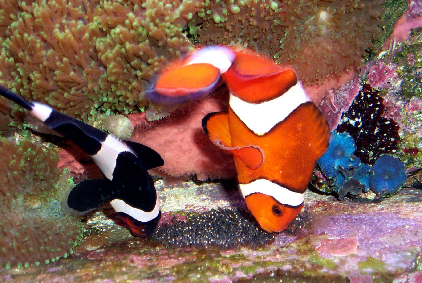 Clownfish and their adaptations thinglink for Black fish eggs