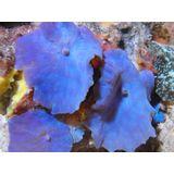 Mushroom Coral - Blue