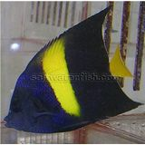 Asfur Angelfish - Red Sea (A)