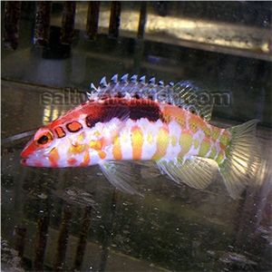 Orangeback Basslet