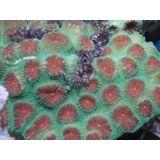 Brain Coral - Favia Red