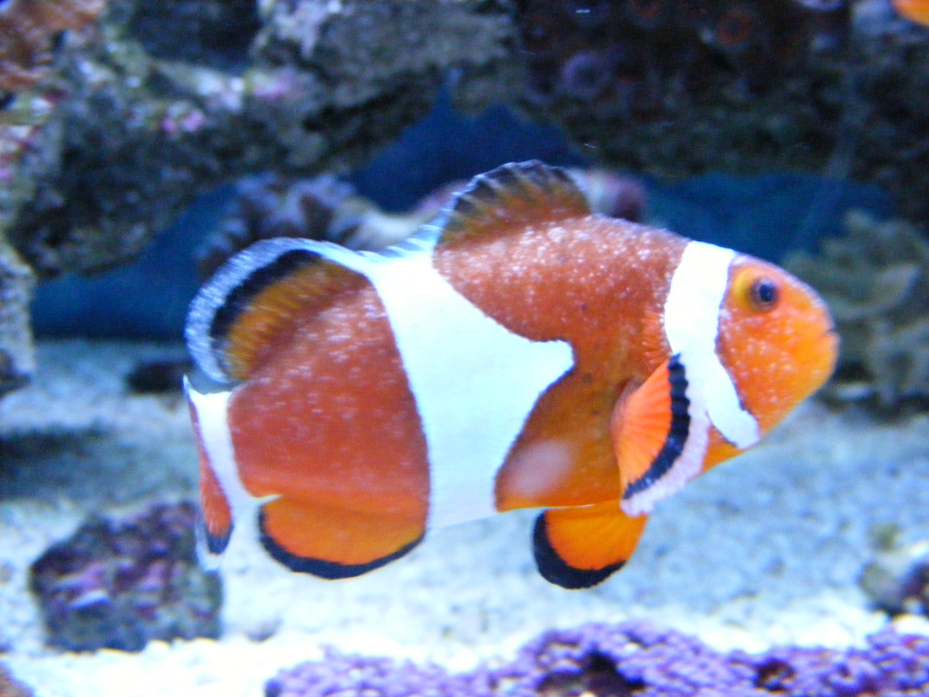 Ich micu journal saltwaterfish forum for What is ick in fish