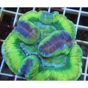 Brain Coral - Green Closed