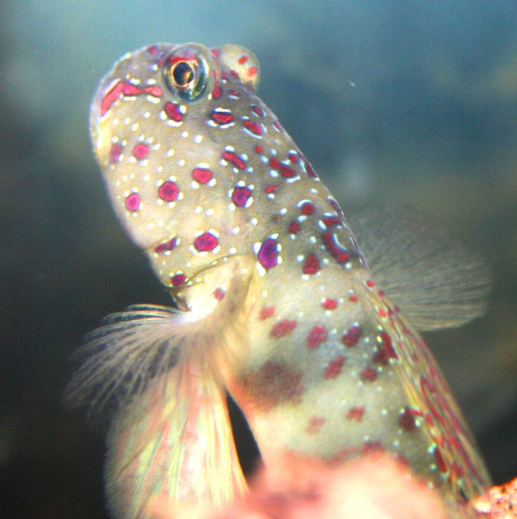 Newest addition to the tank pink spotted shrimp goby for Pink saltwater fish