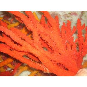 Red Tree Sponge