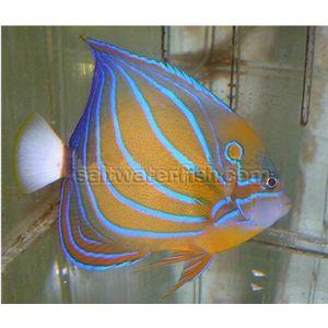 Annularis Angelfish - Show