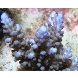 Maricultured   Acropora - Blue Tip