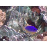 Fiji Blue Devil Damselfish